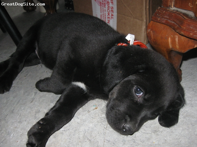 Labmaraner, aprox 8 weeks, black, Labmaraner  his mother was pure maraner and his dad was a lab.  I didn't know there was a name for what he is lol  he's cute as a button and very affectionate.  We live on a farm and he's gonna be a great addition who will have plenty of room to run with the kids.