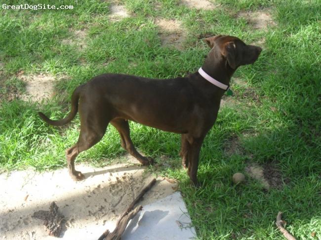 Labmaraner, 1year 9months, brown, sadie mae is quite energetic . she has very good hunting skills and loves water .