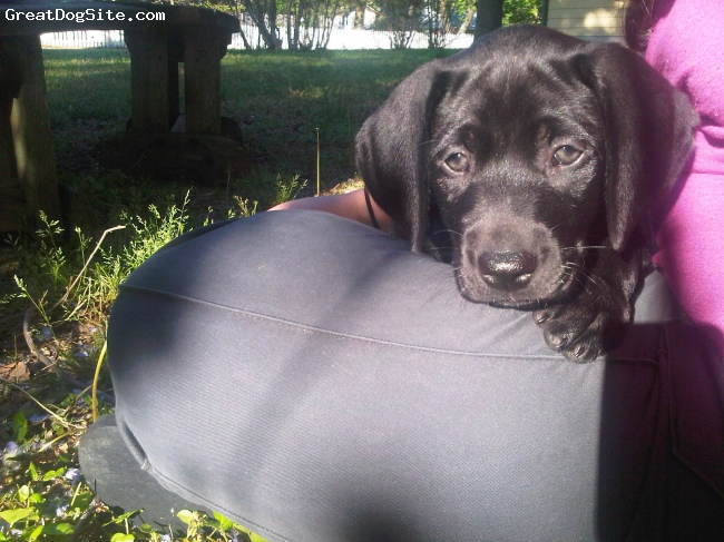 Labmaraner, 7 weeks, black, Wonderfully sweet little lady, comes from a pure bred black lab father and pure bred weimaraner mother. Loves to snuggle and be by your side but also loves to run and play outdoors. Very smart and good at learning new things and LOVES her chew toys!!