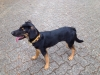 Labradinger, 1 year, Black and tan