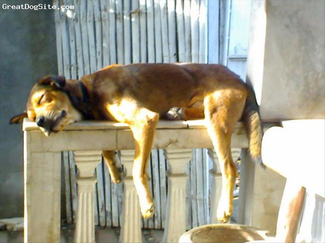Labradinger, 1yr & 2mn, brown, smart and hundsome