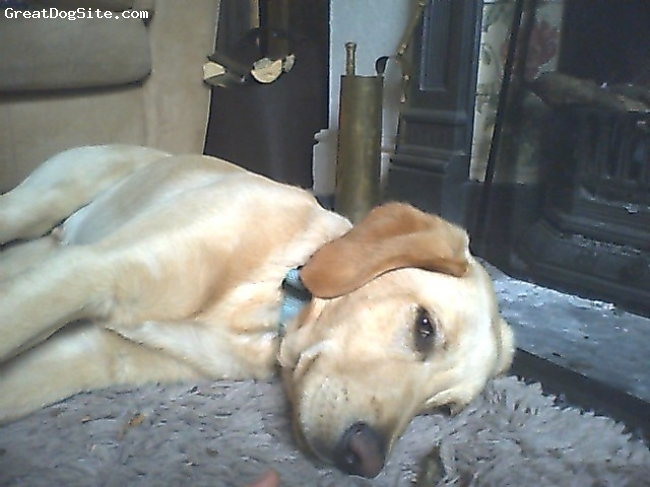 Labradinger, 6 months, golden, lovely dog, very gentle and loves his puppy friends