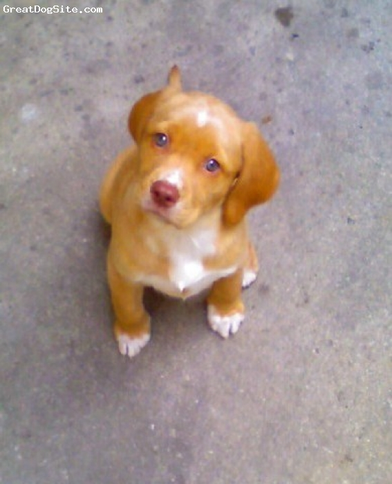 Labradinger, 4, Gold, Cassie as a puppy