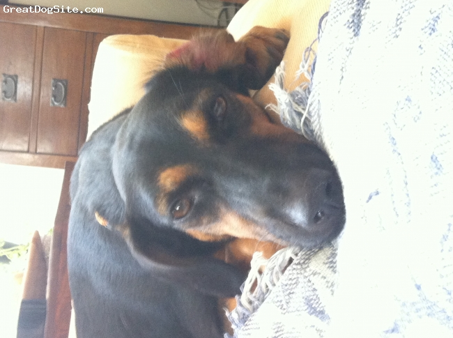 Labradinger, 1 year, Black and tan, A beautiful face