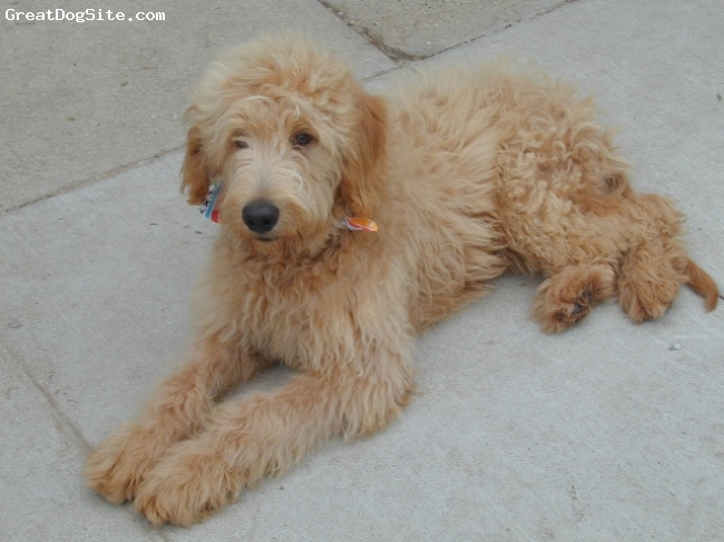 Labradoodle, unsure, cream, laying down