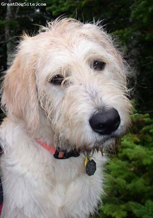 Labradoodle, unsure, cream, cute dog