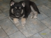 Labrador Husky, 6 wks, black, white , grey, some tan