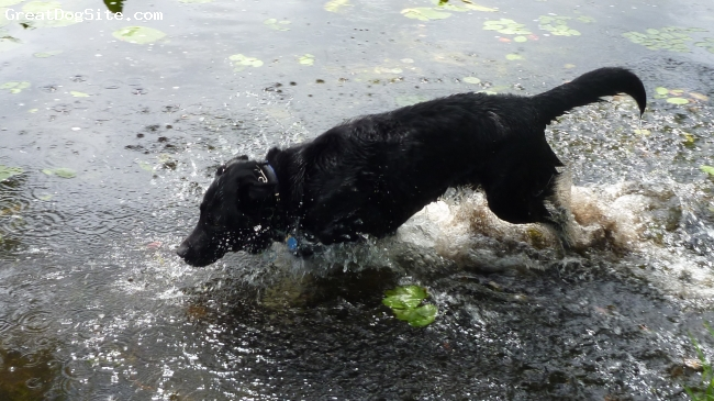 Labrador Husky, 4, Black, DiAgo running through the water