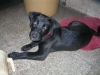 Labrador Retriever, 7mths, Black