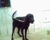 Labrador Retriever, 3yrs, Black