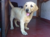 Labrador Retriever, 3 months, Yellow