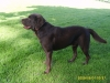 Labrador Retriever, 15 months, Chocolate