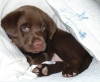 Labrador Retriever, 7wks in pic 2 yr old now, Chocolate