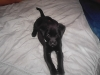 Labrador Retriever, 2 months, black