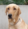 Labrador Retriever, 10 months, Yellow