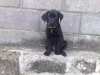 Labrador Retriever, 8 Weeks, Black