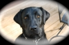 Labrador Retriever, 2yrs, blk