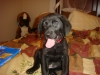 Labrador Retriever, 13 wks, black