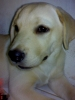 Labrador Retriever, 4 mos, yellow