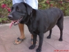 Labrador Retriever, 2 yrs, black