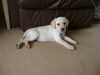 Labrador Retriever, 9 week, golden