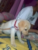 Labrador Retriever, 1 month, golden