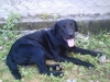 Labrador Retriever, 2 years old, black