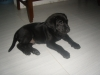 Labrador Retriever, 2months, black