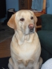 Labrador Retriever, 4, Gold
