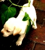 Labrador Retriever, 2 months, white