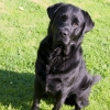 Labrador Retriever, 2 year., Black