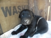 Labrador Retriever, 1 month, black