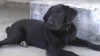 Labrador Retriever, 5 months, black