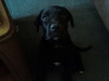 Labrador Retriever, 1 year, Black