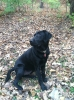Labrador Retriever, 10 mos., Black