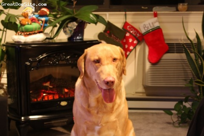 Labrador Retriever, 3, red, cody in front of stove at christmast time.  Isn't he just beautiful