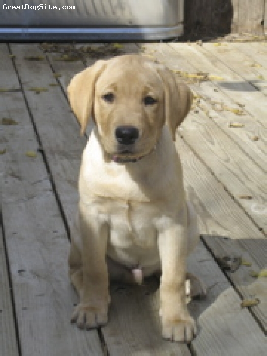 Labrador Retriever, 1, yellow, kind playful cute