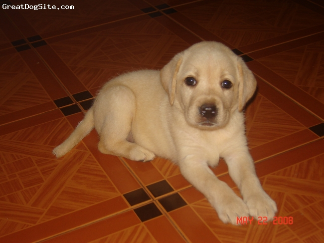 Labrador Retriever, 35days, yellow, she is very playful, she loves to spend time with her master. she is friendly with other dogs.she loves to play with her master.