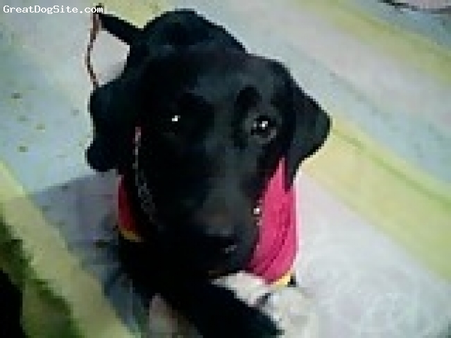 Labrador Retriever, 10 months, black, Jenie is very playful, loves to go on walk, is very cute and i love her so much.............