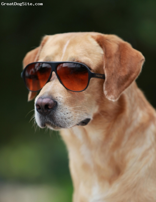 Labrador Retriever, 5, Golden yellow, Am I cool?!