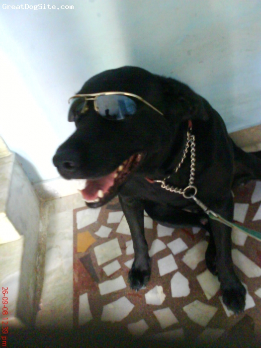 Labrador Retriever, 4, Black, this is my Labrador which is much friendly and dedicative toward my family..a bid ferocious against strangers too....its an loyal,intelligent dog..