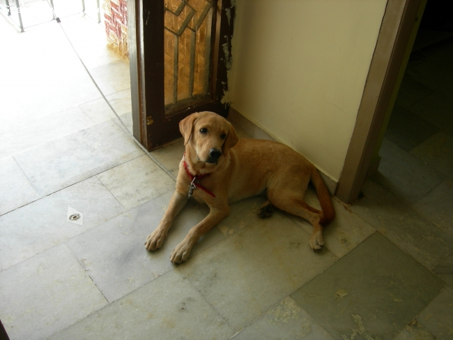 Labrador Retriever, 6 months, brown with yellow, nice