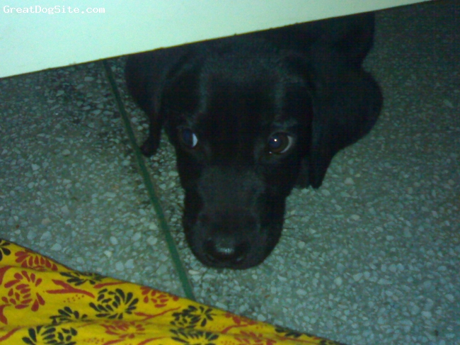 Labrador Retriever, 5 Months, Pure Black, He is a darling dog.Very affectionate,sincere and strong dog.