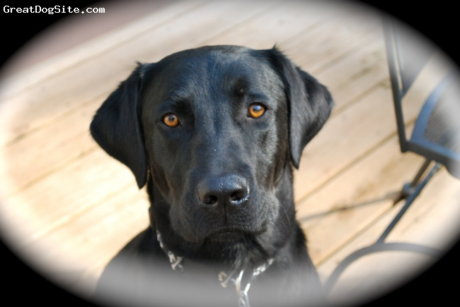 Labrador Retriever, 2yrs, blk, great dog