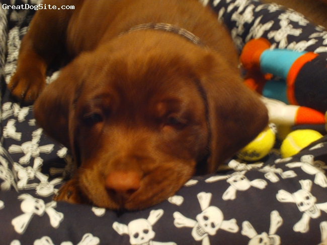 Labrador Retriever, 12 weeks, Chocolate Lab, Such a great puppy. Very smart  and great with the kids