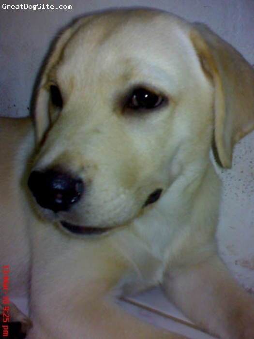 Labrador Retriever, 4 mos, yellow, he is our great companion. very energetic, playful and sweet. he is our baby boy...
