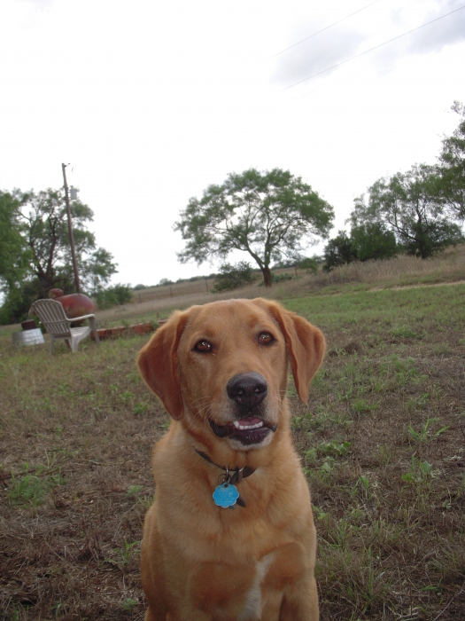 Labrador Retriever, 26 months, red, Bud is currently going through Field Trial training and will be ready for this fall's hunting season.