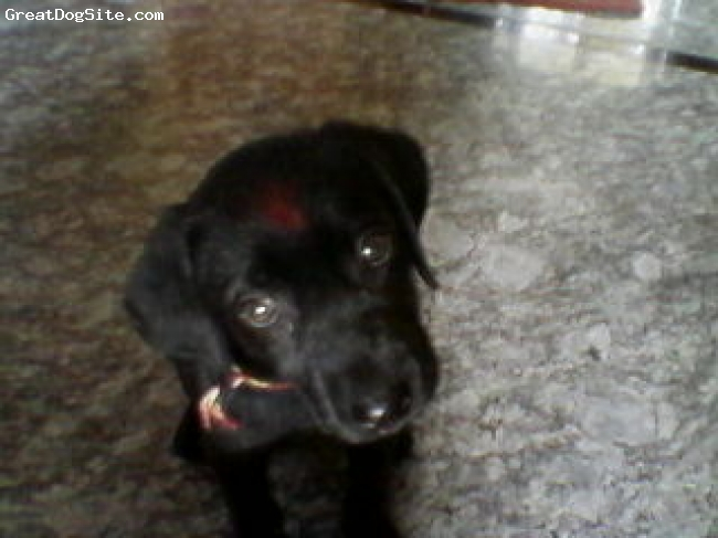 Labrador Retriever, 70 days, black, very active lab