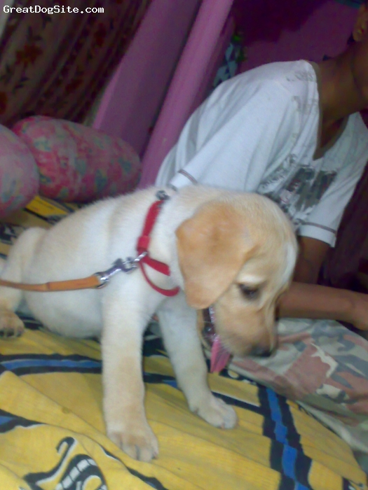 Labrador Retriever, 1 month, golden, this is a cute dog of mine it is very mischievious and its 32 days puppy