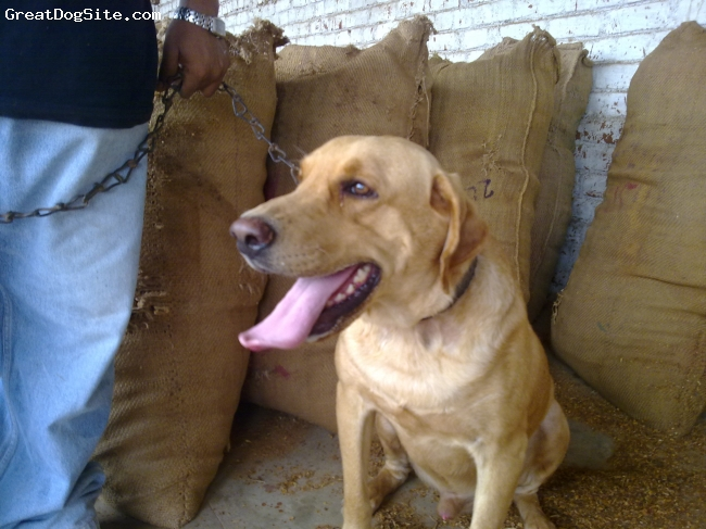 Labrador Retriever, 2 year, c, india gujrat anand